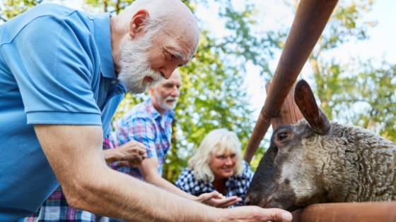 A senior couple feed a sheep at a farm